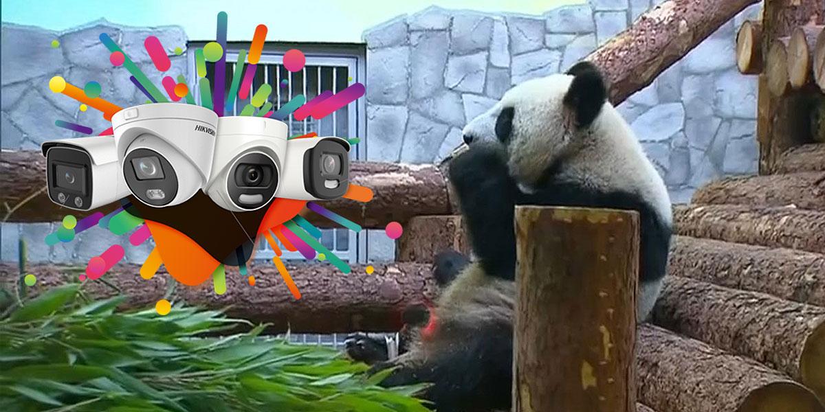 استفاده از دوربین هایک ویژن برای مشاهده پانداها در باغ وحش مسکو
